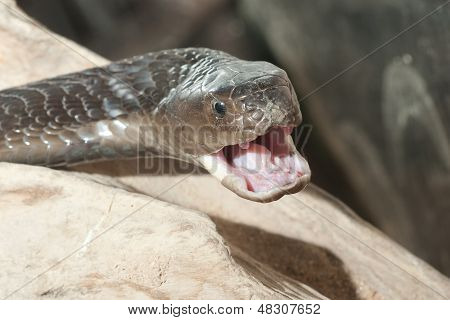 Isan spitting cobra - poisonous snake