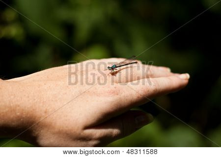 Damselfly resting on person's hand