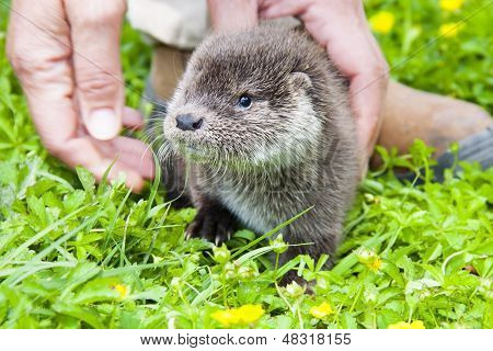 Otter baby