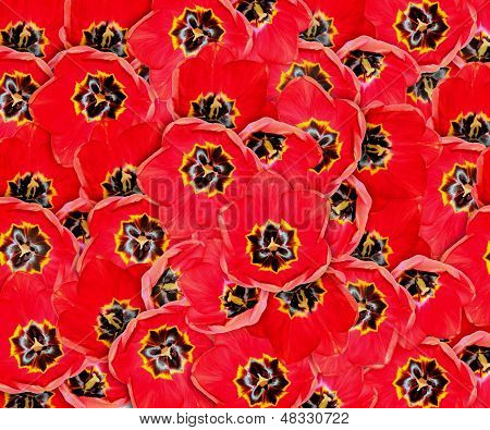 background with red tulips
