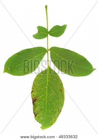 Leaf of walnut tree attacked by mite Aceria erineus