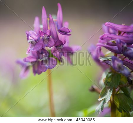 Purple Flower Of Hollowroot
