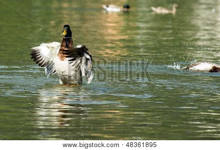 Male duck showing dominance