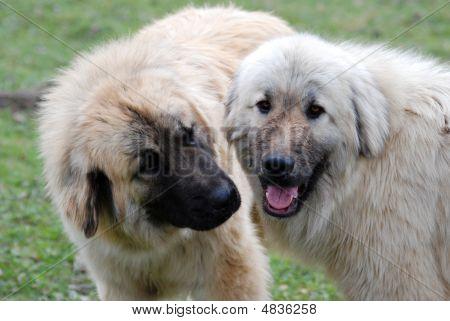 Two Macedonian Shepperds