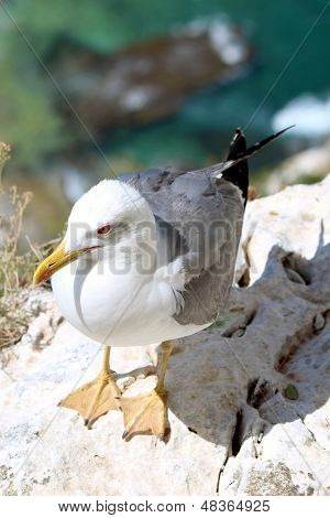 Yellow-legged Gull (larus Michahellis), In Natural Park Of Pe��n De Ifach Situated In Calp, Spai