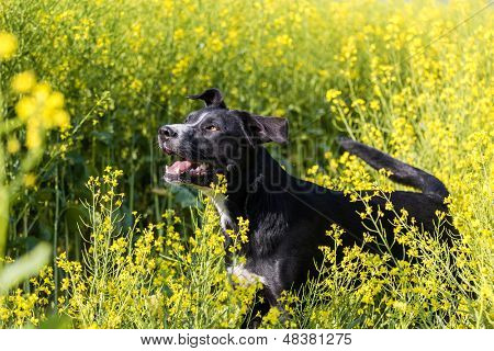 Farm dog in a field of canola