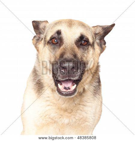 Portrait Of Alsatian Dog