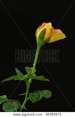 rose isolated and black blackgroung