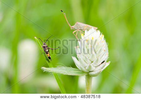 2 bugs on the Amaranth flower