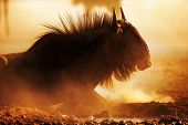 image of wildebeest  - Blue wildebeest portrait in dust  - JPG