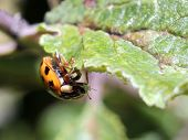 stock photo of aphid  - A Ladybug eating aphids in a garden - JPG