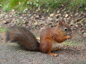 picture of ground nut  - red squirrel sitting on ground and eating nut - JPG