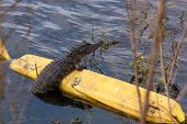 stock photo of alligator baby  - Alligator Resting on a Barrier in a Lake - JPG
