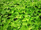 picture of batata  - The sweet potato plantation or farming - JPG