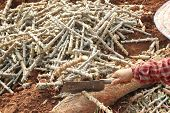stock photo of cassava  - Cassava cuttings from cassava - JPG