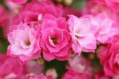 picture of stamen  - Kalanchoe pink flower blossoms  - JPG