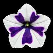 stock photo of ipomoea  - Star Shaped Morning Glory Flower with White and Purple Stripes - JPG