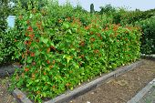 pic of phaseolus  - Runner beans Latin name Phaseolus coccineus