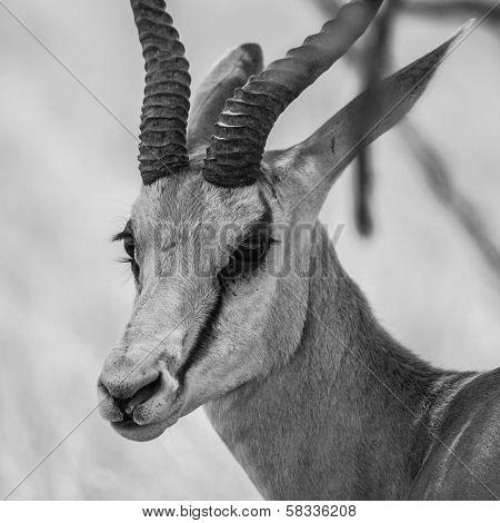 Springbok - Detailed View