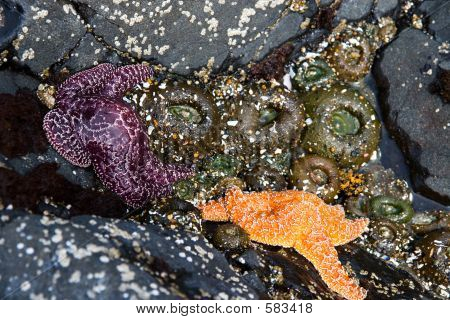 Two Starfish And Sea Anemone