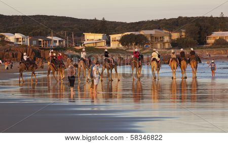 Camels On Stockton Beach. Port Stephens. Anna Bay. Australia.