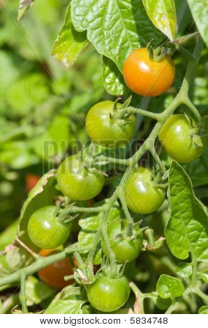 Green Cherry Tomatos On Vine