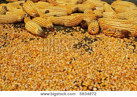 Corn Ear And Seeds