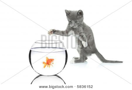 Cat chasing a fish in a bowl
