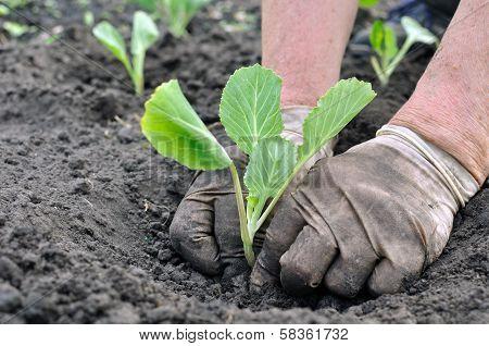 Senior Woman Planting Cabbage Seedling
