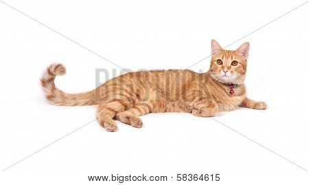 thai yellow cat