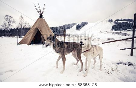 Husky dogs, Central Finland