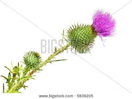 Thistleflower