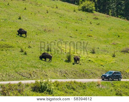 Majestic American Bison At The National Bison Range In Montana, Usa