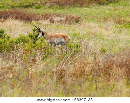 Antelope In A Field At The National Bison Range In Montana Usa