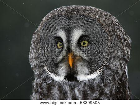 Great Grey Owl Profile