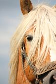 stock photo of horse-breeding  - Beautiful palomino draught horse head close up with halter - JPG