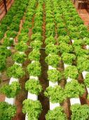 picture of e coli  - The rich green agricultural farm in Cameron Highland Malaysia - JPG