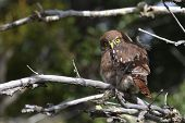 stock photo of pain-tree  - Austral Pygmy Owl in Torres del Paine National Park - JPG