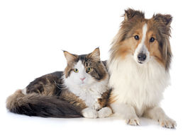 stock photo of coon dog  - portrait of a purebred shetland dog and maine coon cat in front of white background - JPG