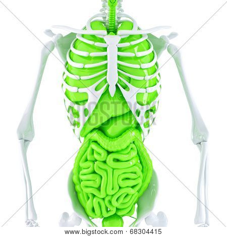 3D Illustration Of Human Skeleton And Internal Organs. Isolated. Contains Clipping Path