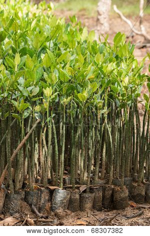 Mangrove Seedlings