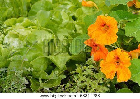 Edible Plants In An Organic Garden.
