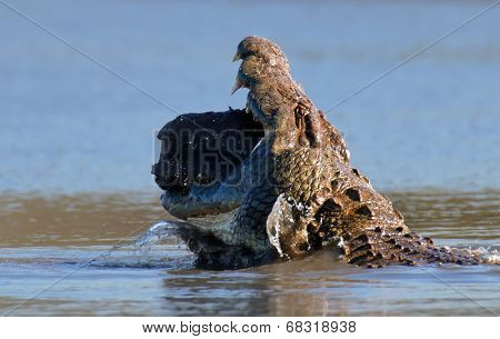 Nile crocodile (crocodylus niloticus) swallowing a chunk of hippo meat - Kruger National Park