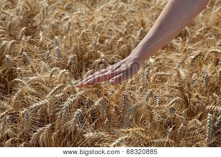 Agriculture, Wheat And Hand
