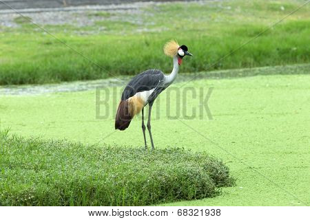 Crowned Crane on green blur background