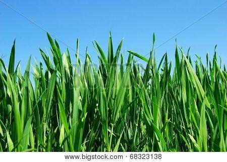 green lawn i