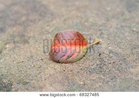 Autumn Pear Leaf
