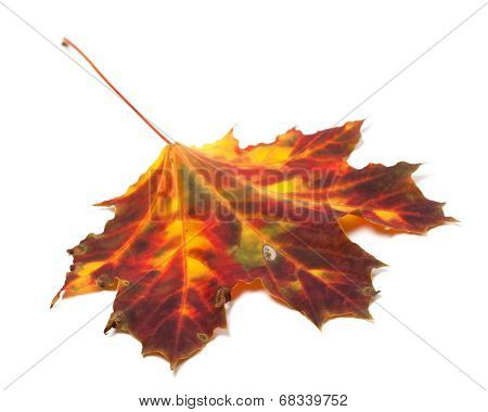 Autumn Yellowed Maple-leaf