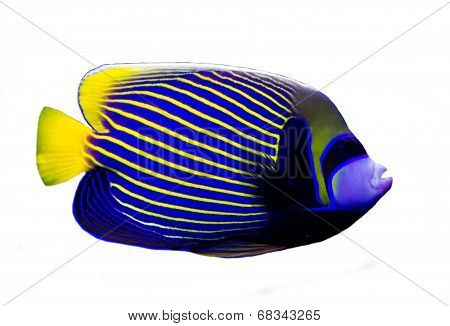 Angelfish isolated on white background