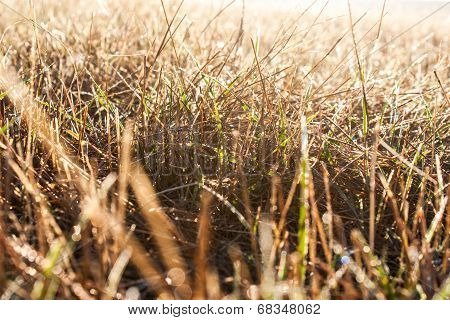 Grass of the field